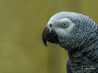 African Grey Parrott