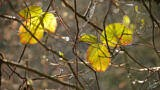 Backlit Leaves in Autumn
