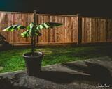 Banana Plant at Night