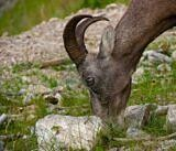 Bighorn Sheep in Jasper National Park