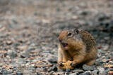 Permalink to Greedy Ground Squirrel