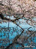 Sakura on the Lake
