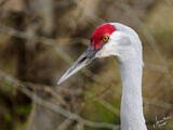 Sandhill Crane at the Reifel Bird Sanctuary