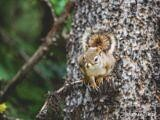 Squirrel at Maligne Lake